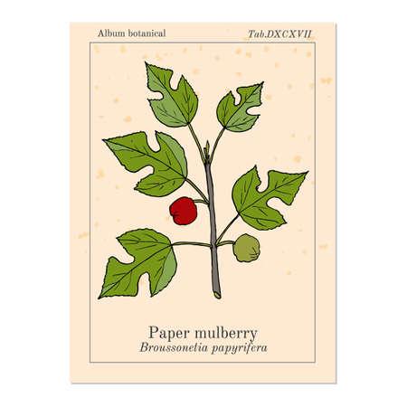 Paper Mulberry Broussonetia papyrifera , medicinal plant. Hand drawn botanical vector illustration Illustration