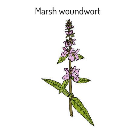 Marsh woundwort Stachys palustris , or hedge-nettle, medicinal plant. Hand drawn botanical vector illustration