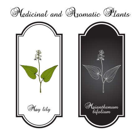 False Lily of the Valley Maianthemum bifolium , medicinal plant. Hand drawn botanical vector illustration