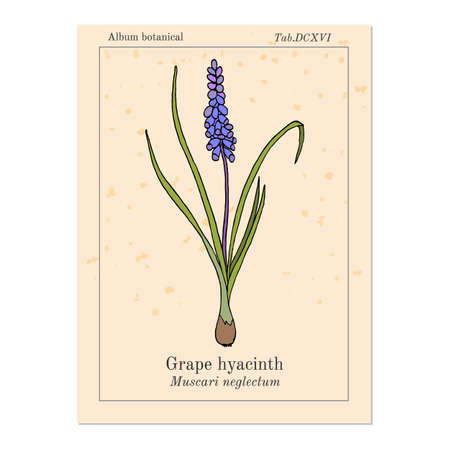 Grape hyacinth Muscari neglectum , medicinal plant. Hand drawn botanical vector illustration