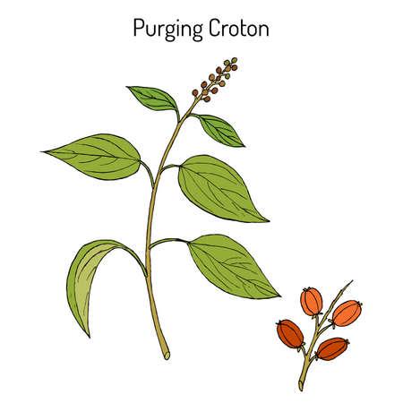 Purging Croton, medicinal plant