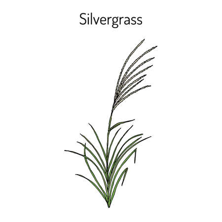 Silvergrass Miscanthus sinensis , or Korean uksae, Chinese silver grass, Eulalia grass, ornamental plant. Hand drawn botanical vector illustration