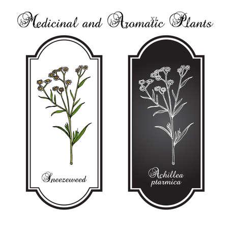 Sneezeweed achillea ptarmica , medicinal plant