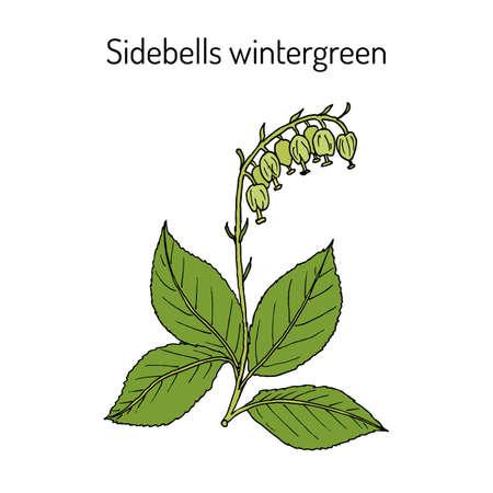 Sidebells wintergreen orthilia secunda , medicinal plant. Hand drawn botanical vector illustration