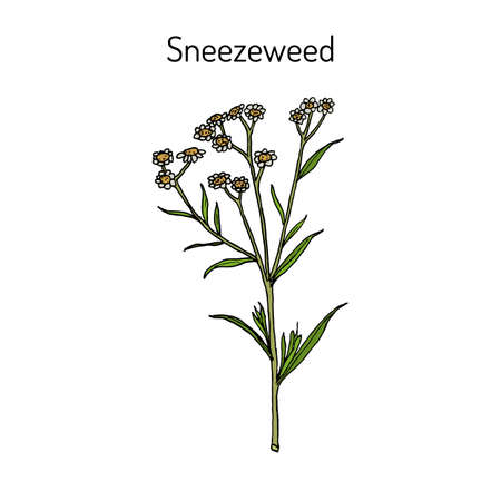 Sneezeweed achillea ptarmica , or European pellitory, fair-maid-of-France, goose tongue, sneezewort yarrow, wild pellitory, or white tansy, medicinal plant. Hand drawn botanical vector illustration
