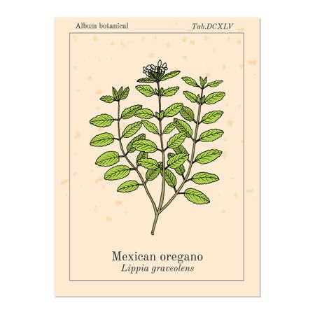 Mexican oregano Lippia graveolens , medicinal plant