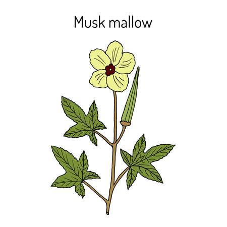 Musk mallow abelmoschus moschatus , medicinal plant. Hand drawn botanical vector illustration Ilustracja