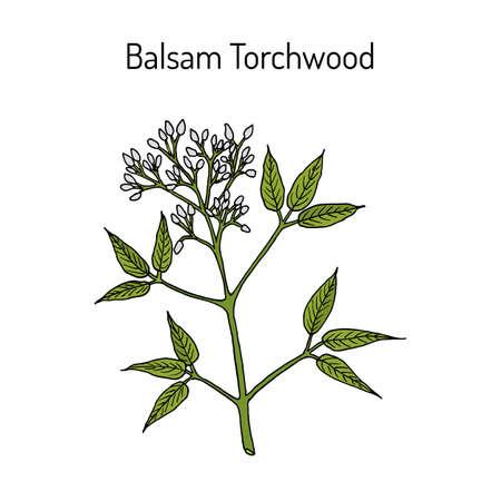 Balsam Torchwood amyris balsamifera , medicinal plant