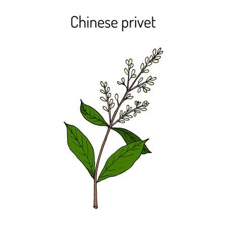 Chinese privet Ligustrum lucidum , medicinal plant. Hand drawn botanical vector illustration