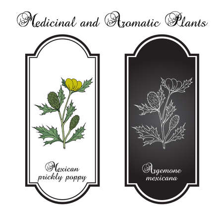 Mexican prickly poppy Argemone mexicana , or flowering thistle, medicinal plant. Hand drawn botanical vector illustration