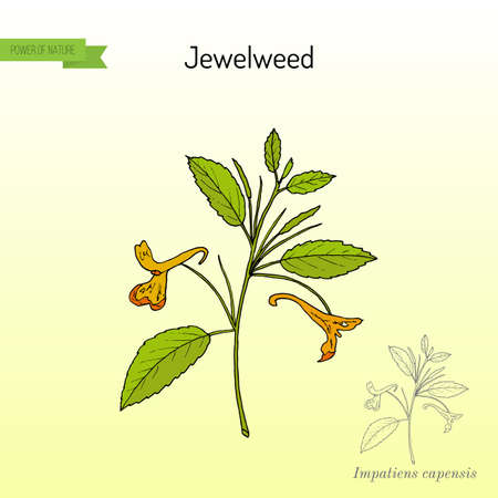 Jewelweed Impatiens capensis , or spotted touch-me-not, or orange balsam, medicinal plant. Hand drawn botanical vector illustration