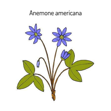 Anemone americana hepatica nobilis , medicinal plant