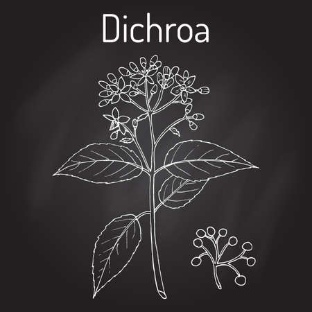 Dichroa febrifuga, medicinal plant  イラスト・ベクター素材