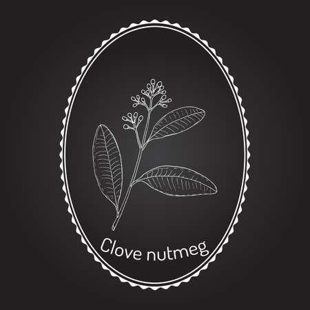 Clou de girofle muscade Ravensara aromatica, plante aromatique et médicinale. Illustration vectorielle botanique dessinés à la main Vecteurs