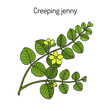 Creeping jenny, moneywort, herb twopence or twopenny grass lysimachia nummularia , medicinal plant. Hand drawn botanical vector illustration