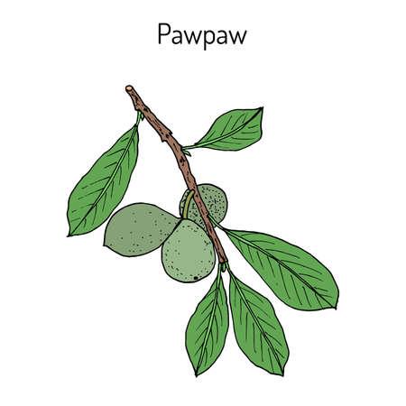 Paw-paw Asimina triloba, planta medicinal. Dibujado a mano ilustración vectorial botánica
