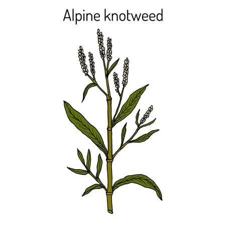 Alpine knotweed aconogonon alpinum , medicinal plant. Hand drawn botanical vector illustration