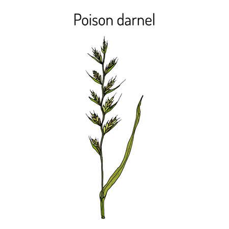 Poison darnel or cockle Lolium temulentum , medicinal plant. Hand drawn botanical vector illustration Illustration