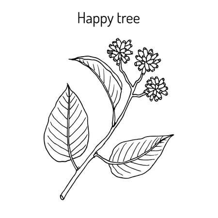 Happy or cancer tree camptotheca acuminata medicinal plant. Hand drawn botanical vector illustration Ilustração