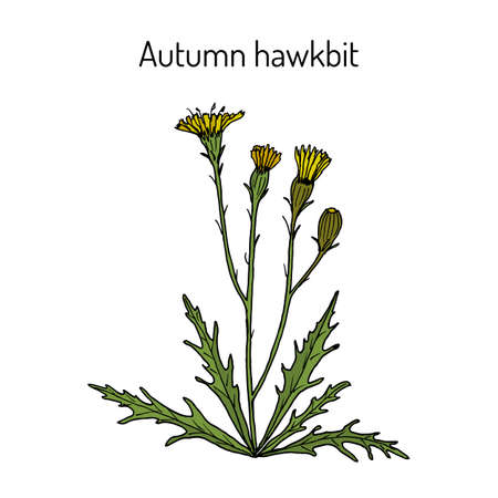 Autumn hawkbit Scorzoneroides autumnalis , or fall dandelion, medicinal plant. Hand drawn botanical vector illustration