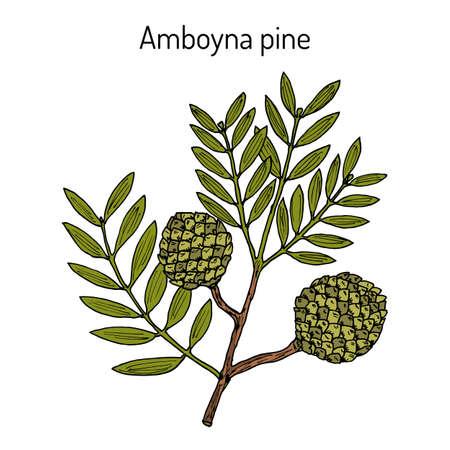 Amboyna pine agathis dammara , medicinal plant. Hand drawn botanical vector illustration