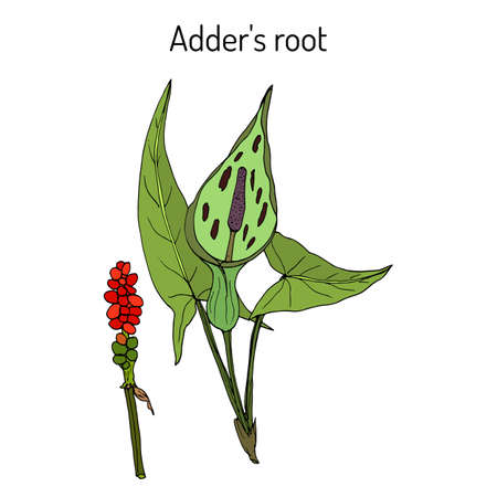 Adder s root Arum maculatum , medicinal plant. Hand drawn botanical vector illustration Illustration