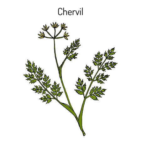 French parsley or garden chervil Anthriscus cerefolium , spice and medicinal plant. Hand drawn botanical vector illustration