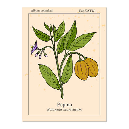 Pepino dulce Solanum muricatum , or sweet cucumber, melon pear, eatable and medicinal plant. Hand drawn botanical vector illustration Banco de Imagens - 122725358