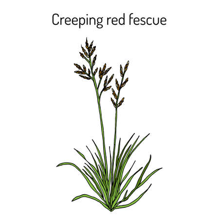 Creeping red fescue festuca rubra , medicinal plant. Hand drawn botanical vector illustration