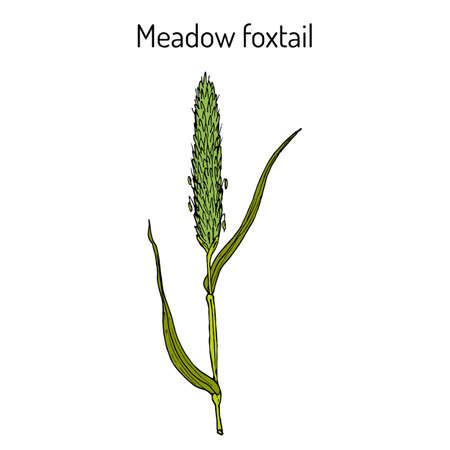 Field meadow foxtail alopecurus pratensis , medicinal plant. Hand drawn botanical vector illustration Reklamní fotografie - 122667761