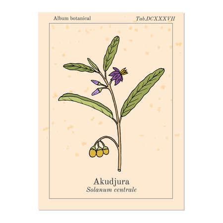 Australian desert raisin Solanum centrale , or akudjura, kutjera, bush tomato, spice plant. Hand drawn botanical vector illustration