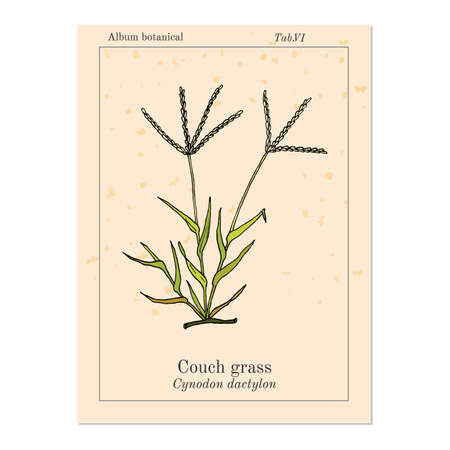 Couch grass elymus repens , or twitch, quackgrass, quitch, witchgrass, medicinal plant. Hand drawn botanical vector illustration
