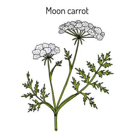 Moon carrot Seseli libanotis , or mountain stone-parsley, or s fferot, medicinal plant. Hand drawn botanical vector illustration
