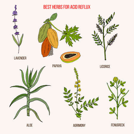 Best herbal remedies for acid reflux. Hand drawn botanical vector illustration Ilustracja