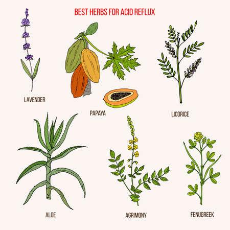 Best herbal remedies for acid reflux. Hand drawn botanical vector illustration Illustration