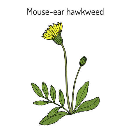 Mouse-ear hawkweed Hieracium pilosella , medicinal plant. Hand drawn botanical vector illustration