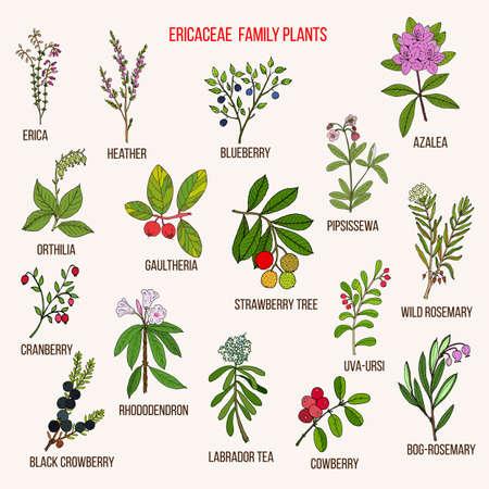 Ericaceae oder Heidekrautfamilie von Blütenpflanzen