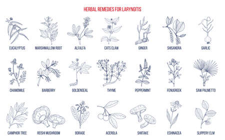 Los mejores remedios a base de hierbas para la laringitis. Dibujado a mano ilustración vectorial botánica