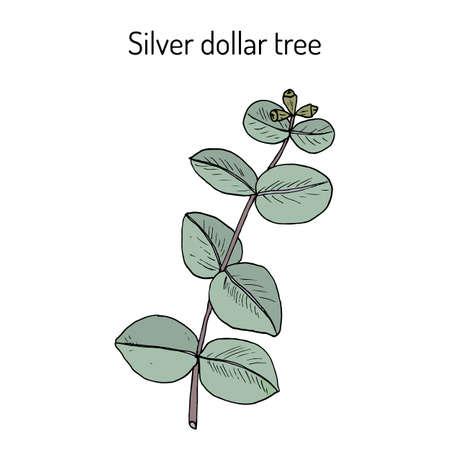 Silver dollar tree eucalyptus cinerea , or argyle apple, silver-leaf stringybark, medicinal plant