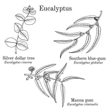 Silver dollar tree, manna gum and southern blue-gum eucalyptus set