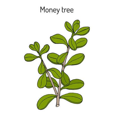 Money tree or jade plant Crassula portulacea , medicinal plant 矢量图片