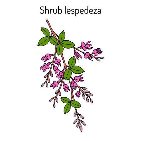 Shrub lespedeza Lespedeza thunbergii , medicinal plant. Hand drawn botanical vector illustration Ilustracja