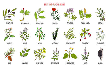 Il miglior set di erbe antimicotiche. Illustrazione vettoriale botanica disegnata a mano