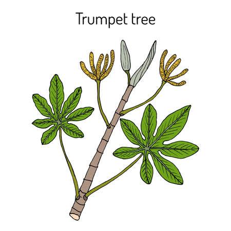 Trumpet tree or snakewood cecropia peltata , medicinal plant