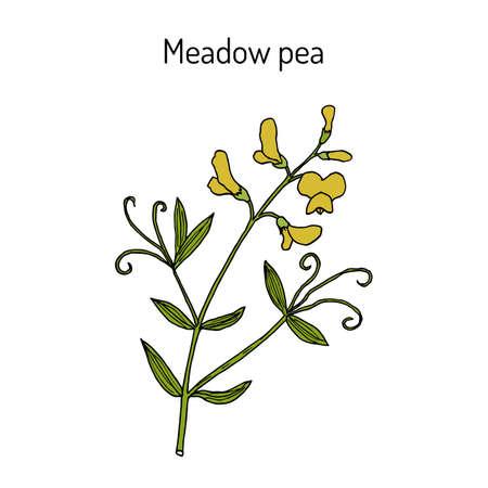 Meadow vetchling or pea Lathyrus pratensis , medicinal plant Ilustrace