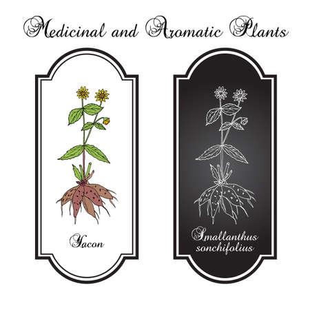 Yacon Smallanthus sonchifolius , or peruvian ground apple, medicinal plant