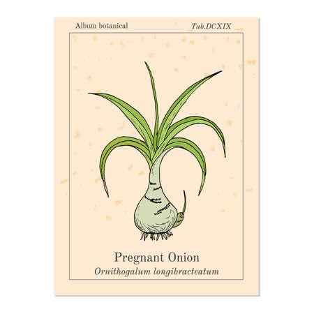 Pregnant onion Ornithogalum caudatum , or false sea-onion, medicinal plant