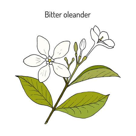 Bitter Oleander Wrightia oder Holarrhena antidysenterica, Heilpflanze