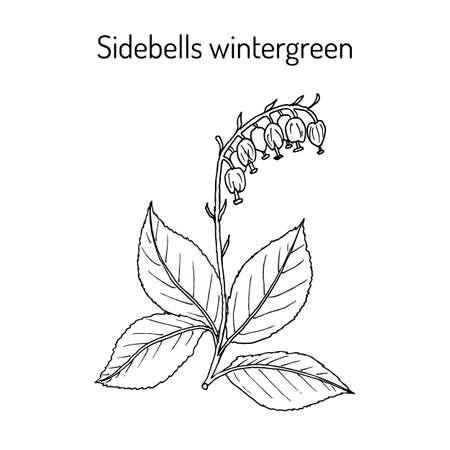 Sidebells wintergreen orthilia secunda , medicinal plant