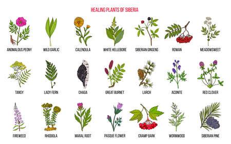 Medicinal herbs of Siberia  イラスト・ベクター素材